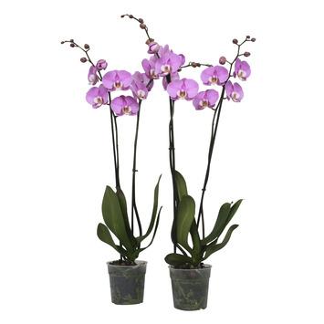 Orchidee roze met witte lip (Luxor) – 2 stuks