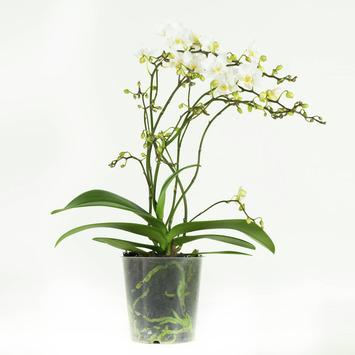 Orchidee wit (Soft Cloud) – 50 cm hoog