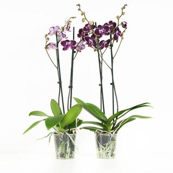Orchidee roze gespikkeld (Chien Xen Pearl) – 2 stuks