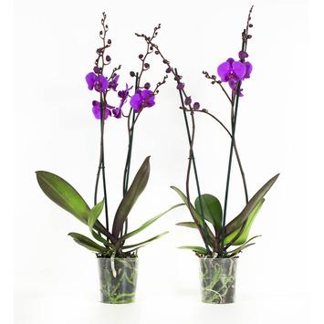 Orchidee Lila (Atlantis) – 2 stuks