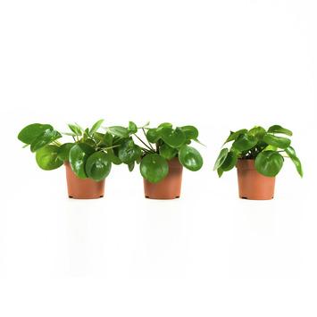 Pannenkoekplant (Pilea pereomioides) – 3 stuks