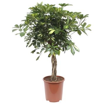 Vingerboom (Schefflera Gold Capella) – 100 cm hoog