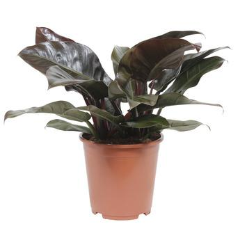 Philodendron – Rood (two tone)