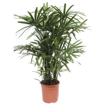 Stokpalm (Rhapis palm) – 110 cm hoog