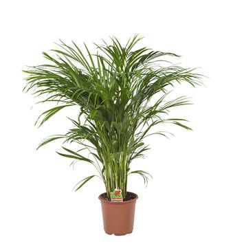 Goudpalm (Areca palm) – 100 cm hoog