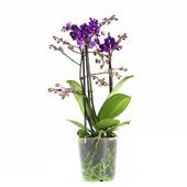 Orchidee (Phalaenopsis) - Paars