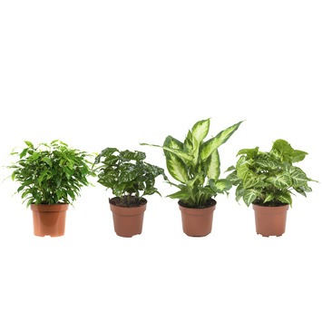 Combibox - Koffieplant, Dieffenbachia, Syngonium, Ficus