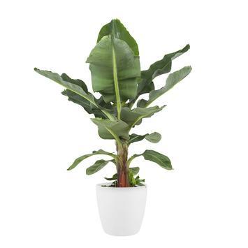 Bananenplant (Musa) met Elho Bloempot Brussels Wit