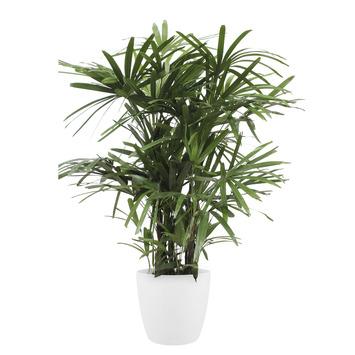 Stokpalm (Rhapis palm) met Elho Bloempot Brussels Wit