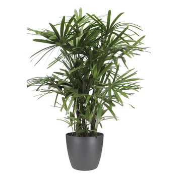 Stokpalm (Rhapis palm) met Elho Bloempot Brussels Antraciet