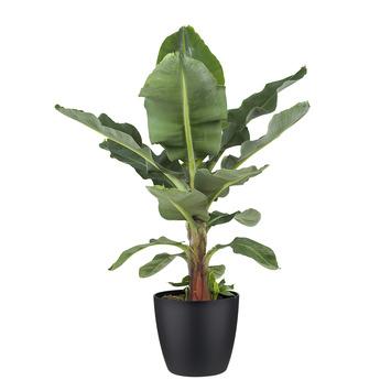 Bananenplant (Musa) met Elho Bloempot Brussels Zwart