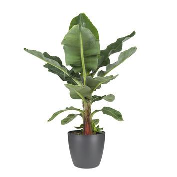Bananenplant (Musa) met Elho Bloempot Brussels Antraciet