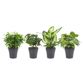Combibox – Koffieplant, Dieffenbachia, Syngonium en Ficus met bloempot Grijs