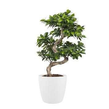 Bonsai Ficus met Elho Bloempot Brussels Wit