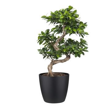 Bonsai Ficus met Elho Bloempot Brussels Zwart
