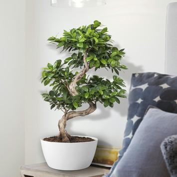 Bonsai Ficus (Bonsai gin seng) – 70 cm hoog