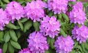 /advies/tuin/rododendron-planten