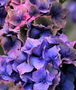 Hoe hortensia planten en hortensia snoeien