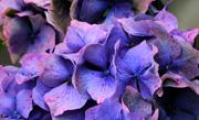 /advies/tuin/hortensia-planten-snoeien